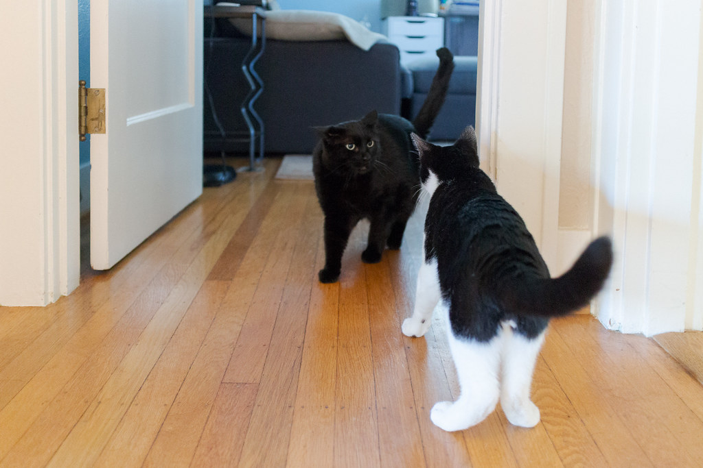 Our cat Emma pins her ears back as she greets newly arrived kitten Boo