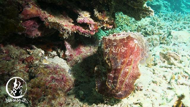 コブシメは発見時から同じ場所で動かず