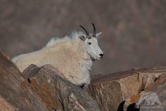 Mountain Goat, Nikon D850, Sigma 150-600mm F5-6.3 DG OS HSM | S