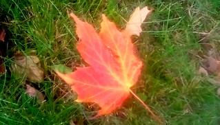 Maple leaf!