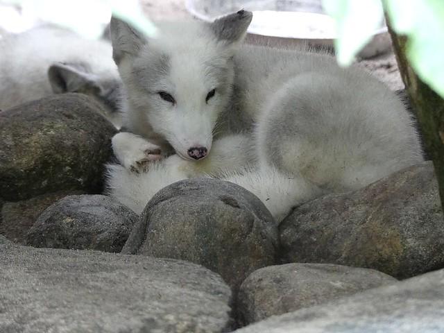 Polarfuchs, Tierpark Neumünster