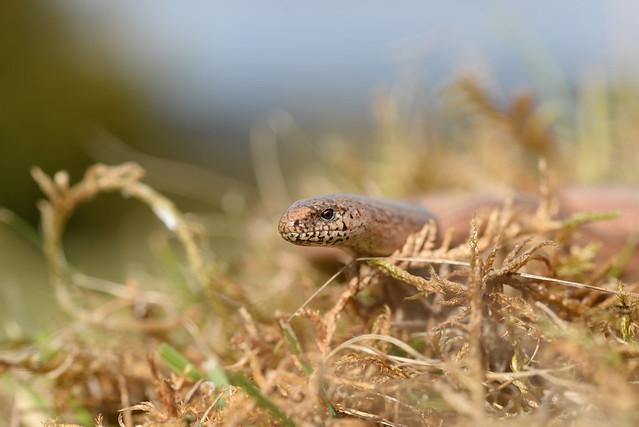 Slowworm Anguis fragilis in, Nikon D610, Sigma Macro 105mm F2.8 EX DG OS HSM
