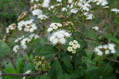 Ageratina adenophora flowerhead NC5