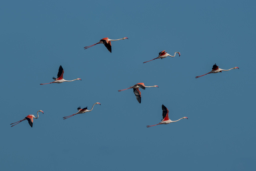 Greater Flamingos (Phoenicopterus roseus)
