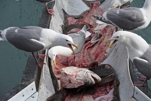 Seagull Chute