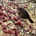 Blackbird on hawthorn-4159