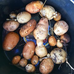 #homegrown #potatoes