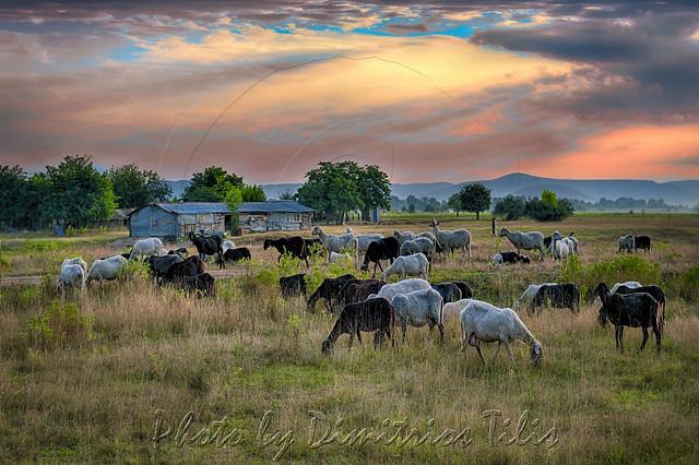 Πρωινή νομή Morning pasturage