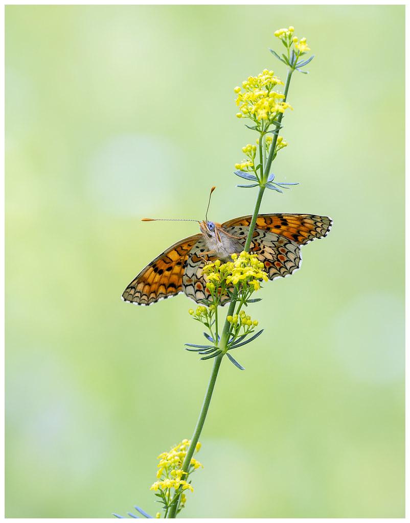 Knapweed Fritillary