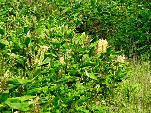 Hedychium gardneranum