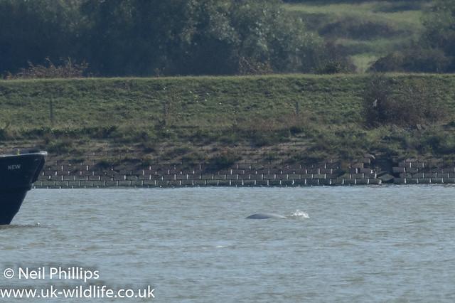 Thames beluga whale-7