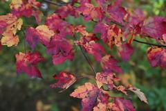 IMG_6972 - Autumn Leaves