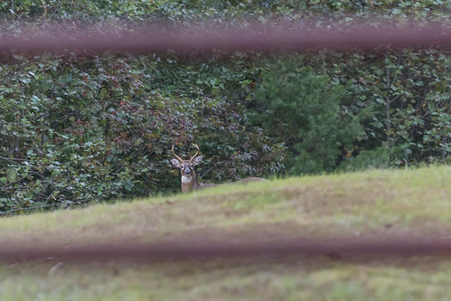 beechgrove civilwar confederatecamp millspringbattlefield pulaskicounty battlefield buck deer gate whitetaileddeer wildlife