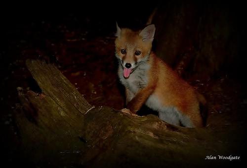 Red Fox cub - Buckinghamshire